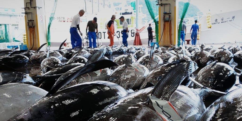 国産生マグロ水揚げ日本一の和歌山県勝浦港で「勝浦市場でのマグロの買付」「加工場でのマグロの解体」のお仕事体験の募集!