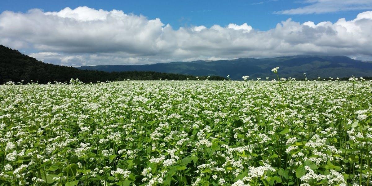 \そば畑サポーター制度2019/そば農家と一緒に地域の風景を作りませんか?ー長野県茅野市