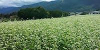 そば農家さんをサポートして地域の風景を一緒に作りませんかー長野県茅野市