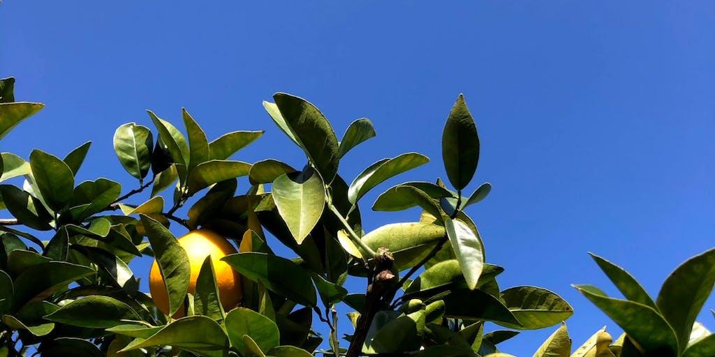 知る人ぞ知る希少な柑橘「河内晩柑」を初夏の風物詩にしたい!「創り手」を増やすことで実現を目指すプロジェクト「一緒に日本の文化を創りましょう」