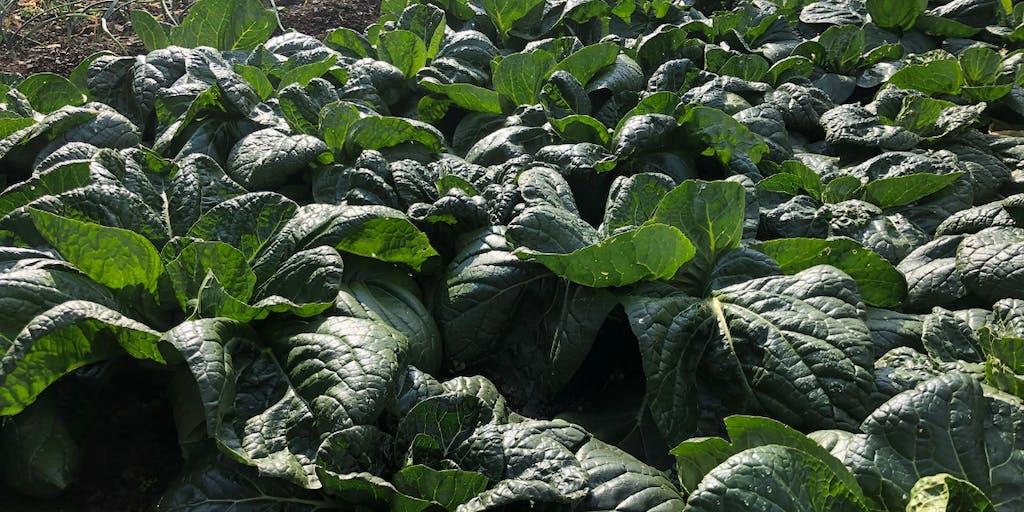 【シェア畑体験】希少な大和の伝統野菜「下北春まな」収穫した野菜は郵送します★