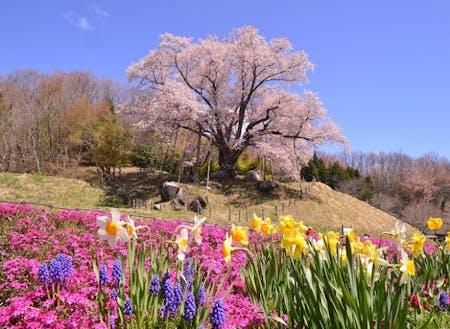 春の古殿(県桜番付横綱の越代の桜)