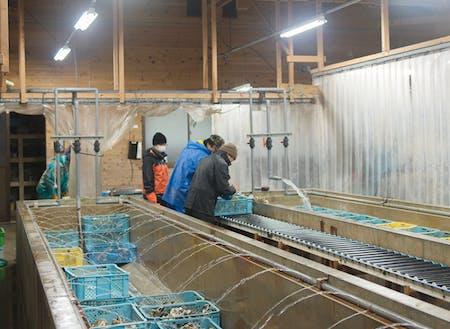 岩牡蠣の生産現場