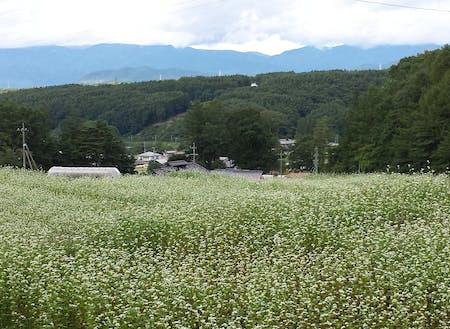 昨年8・9月は一面にそばの花が美しい景色を作り出します