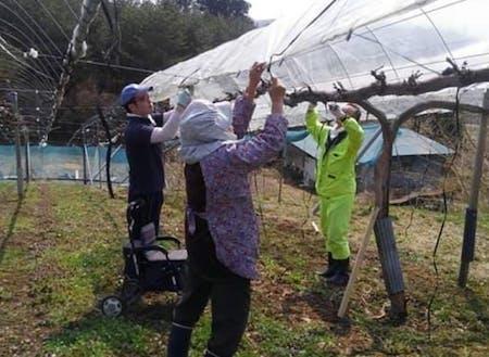 実際の作業風景。雨除け栽培用のビニールかけをしている様子
