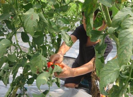 トマトの収穫体験(就農体験も可能です)