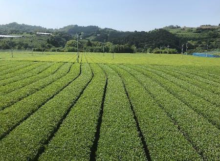 新茶の季節です。緑が目に眩しい。