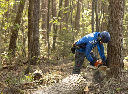 アカマツの木を伐っている弊社 社長