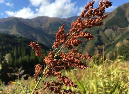 山で育った雑穀は味が濃いと言います。