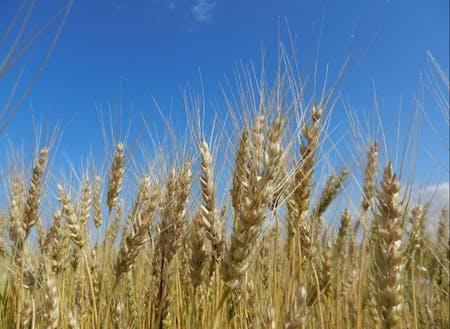 下川町は小麦の産地でもあります。幻の小麦と呼ばれる「ハルユタカ」を使った手延べ麺が食べられるのは下川町だけ!