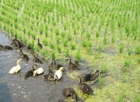 あいがも農法によるお米栽培