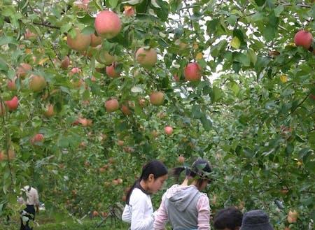 りんご狩りも楽しめます