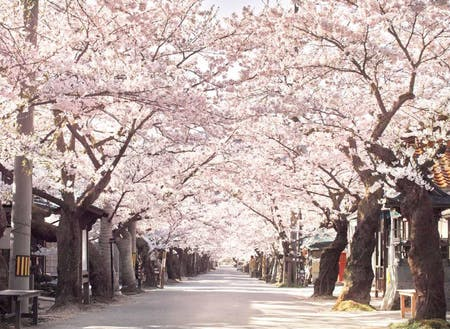 県北で一番遅い時期に咲く、新庄村・がいせん桜通りの桜並木