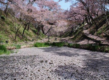 青空にピンクの桜が映える