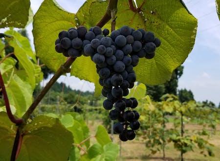 地元産のワインに使われる山ぶどう