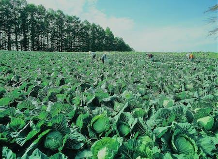一面に広がるキャベツ畑