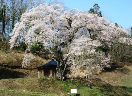 美しい山里筆甫に咲く樹齢450年のウバヒガン桜
