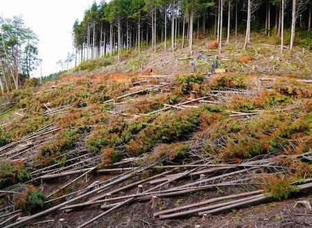 ヒノキ人工林を伐採・葉枯らし乾燥により高付加価値化に挑戦