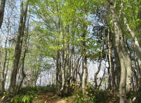 鉢伏山のブナ林