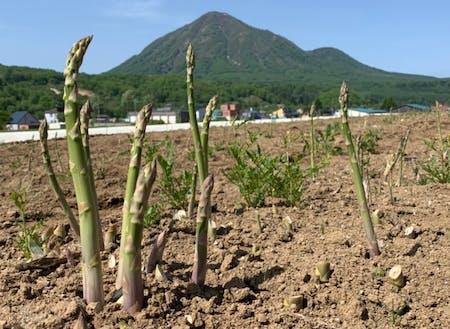 アスパラガス栽培発祥の地として100軒ほどの農家さんがいます。