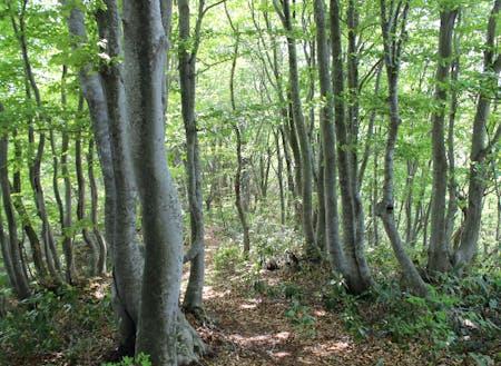 車で20分程度で行ける鉢伏山のブナの森