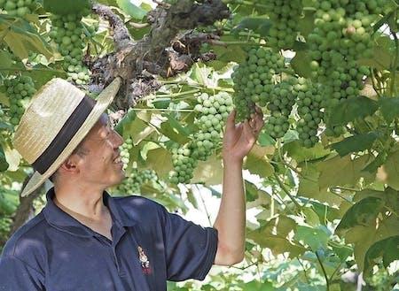 先輩協力隊でぶどう農家に就業した鈴木カンタくん(通称カンタ)