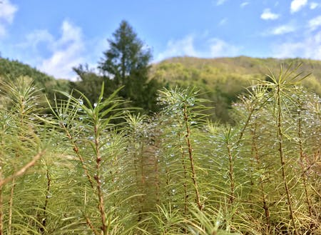 町の未来を担うカラマツの苗木