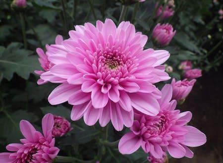 第1回農業体験 スプレーマムの花