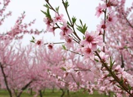 春に咲く、桃の花