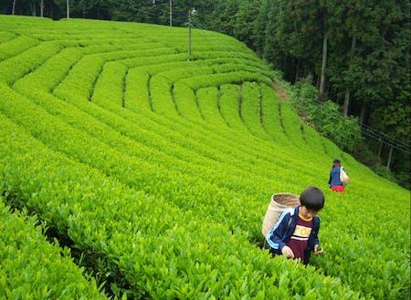Nyu farmの茶摘み