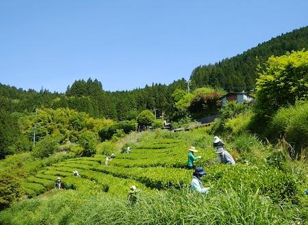 雲海の茶畑~