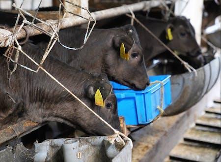 八雲町は、北海道における酪農発祥地とされています。