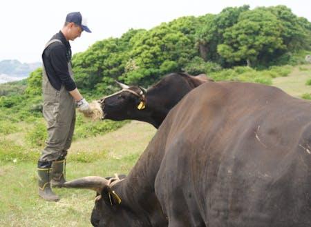 2019年見島へ移住。未経験から幻の牛「見島ウシ」を守る牛飼いに。