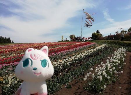 春、満開のチューリップが咲き誇ります
