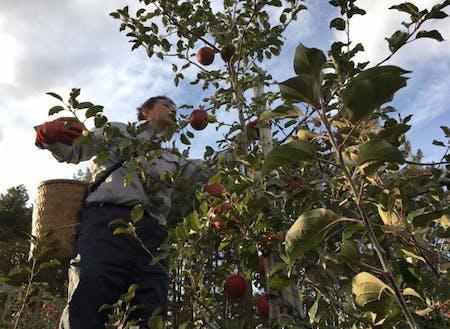 南郷地区で栽培が盛んな果樹農家での農作業補助