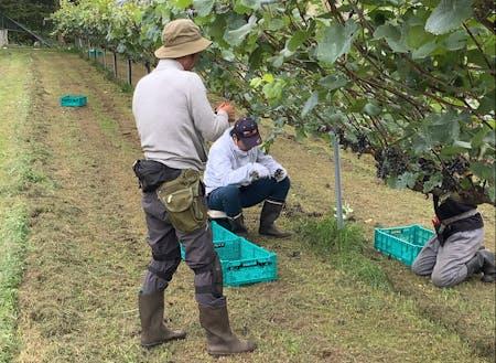 ワイン用ぶどうの収穫作業の様子