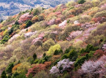 3月下旬から約1か月間55万本のヤマザクラが咲き誇ります