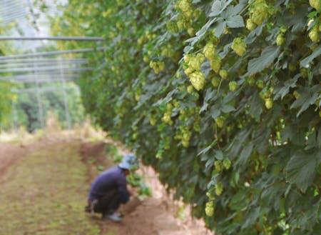 ビールの原料「ホップ」の栽培もしています。