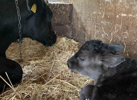 あっぷるふぁーむは牛も飼っています。