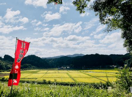 刈取り直前の酒米の田んぼ。絶景です!今は雪景色、当日披露できるかも?
