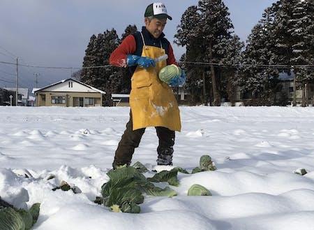 雪下キャベツを収穫する平賀さん。収穫体験は子どもに人気です。