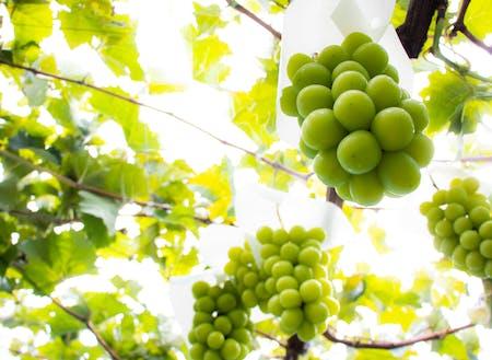 ブドウやリンゴ、サクランボ、モモなど果樹栽培が盛ん♪人気沸騰中のシャインマスカット!