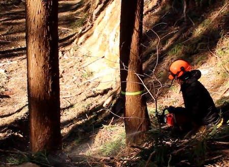 木材となる木を伐倒している様子。林業の醍醐味です。