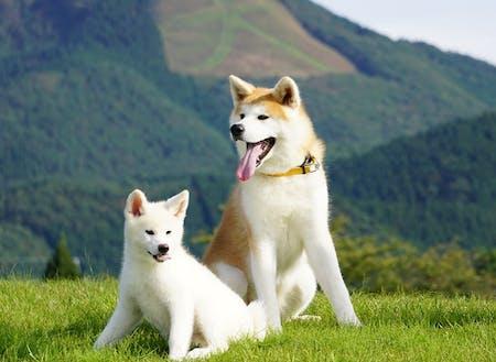 秋田犬のおもちと勝大