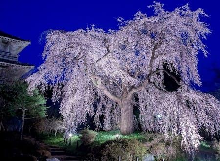 樹齢約300年の浄専寺のしだれ桜のライトアップ