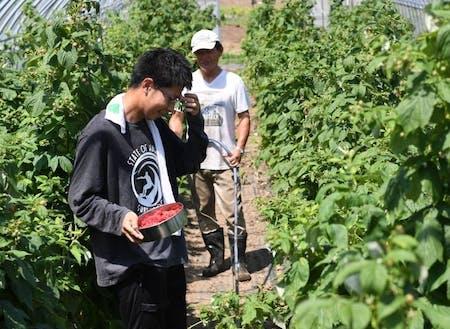 収穫指導する金澤さんと協力隊大和田君