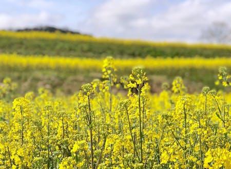 3月後半から4月まで、むつみを黄色く彩る菜の花ロードが見頃です