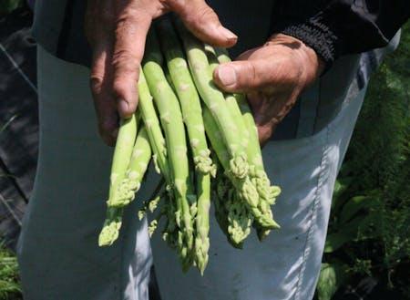 西粟倉村内の農家が育てたアスパラガス