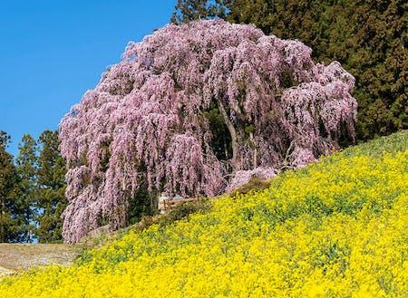 東北は冬が辛いと思われがちだけれど、春の喜びはひとしお。1年通して四季にメリハリがあるのが魅力。