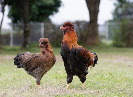 豊かな自然のなかで健やかに育つ地鶏たち。